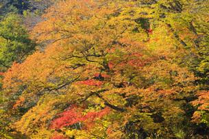秋色に染まる木々の写真素材 [FYI00166013]