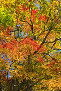秋色に染まる木々の写真素材 [FYI00166017]