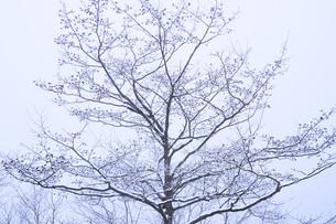 冬の樹木の素材 [FYI00166102]