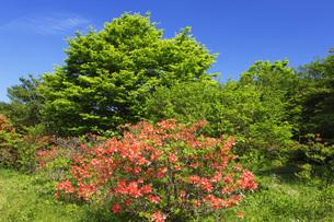 レンゲツツジ咲く那須高原の写真素材 [FYI00166146]