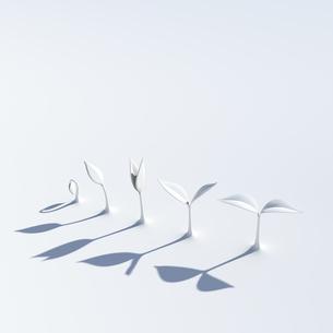成長する白い双葉の写真素材 [FYI00166307]