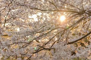 夕陽と満開の桜の写真素材 [FYI00166327]