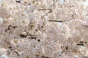 満開の桜の花の写真素材 [FYI00166328]