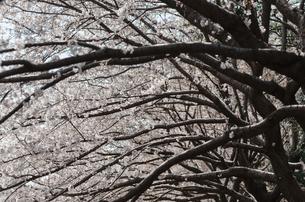 桜並木の写真素材 [FYI00166333]