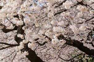 満開の桜の花の写真素材 [FYI00166336]