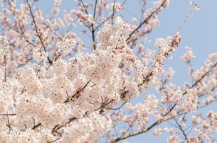 満開の桜の花の写真素材 [FYI00166337]