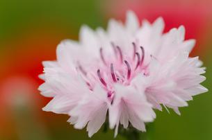 ピンクの花の写真素材 [FYI00166338]