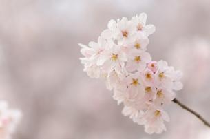 桜の花のクローズアップの写真素材 [FYI00166339]