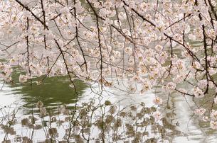 水面に映える満開の桜の写真素材 [FYI00166340]