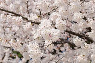 満開の桜の花の写真素材 [FYI00166341]