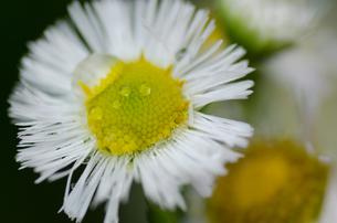 白い花と水滴の写真素材 [FYI00166342]