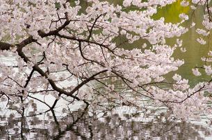 水面に映える満開の桜の写真素材 [FYI00166343]
