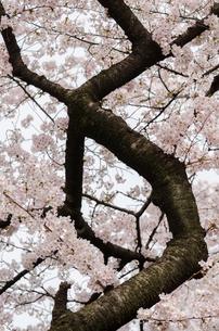 満開の桜の花と力強い枝の写真素材 [FYI00166345]