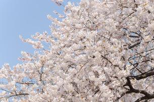 満開の桜の写真素材 [FYI00166347]