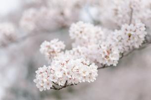 桜の花のクローズアップの写真素材 [FYI00166352]