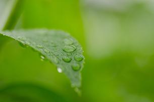 葉と水滴の写真素材 [FYI00166356]