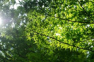 緑色のもみじの木の写真素材 [FYI00166359]