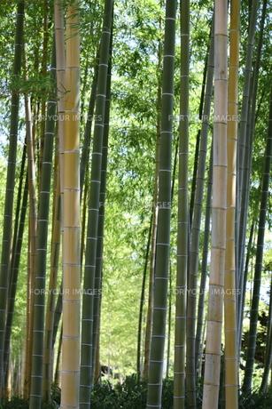 竹林の写真素材 [FYI00166639]