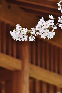 桜咲く公園の写真素材 [FYI00166773]