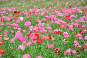 ポピーの花畑の写真素材 [FYI00166981]