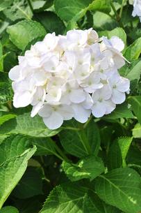 紫陽花 インマクラータの写真素材 [FYI00167163]