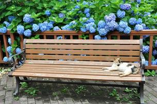 猫と紫陽花の写真素材 [FYI00167228]