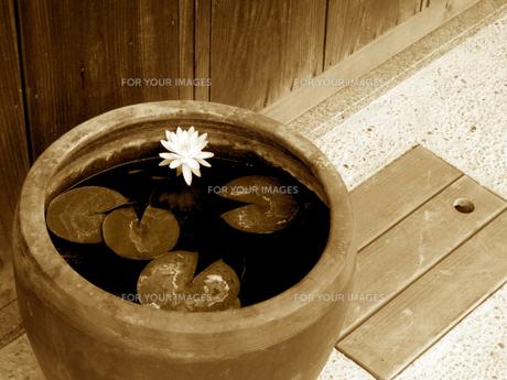 金瓶のメダカと花の写真素材 [FYI00168093]