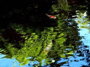 錦鯉の泳ぐ池の素材 [FYI00168104]