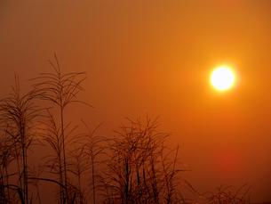 金に染まるすすき野原の写真素材 [FYI00168147]