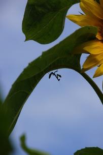 蟷螂 戦士の休息の写真素材 [FYI00168148]