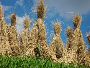 秋の稲わら干しの写真素材 [FYI00168223]