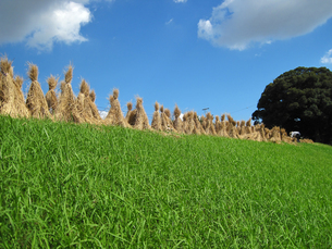 秋の稲わら干しの写真素材 [FYI00168255]