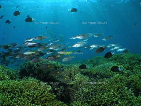サンゴとノコギリダイの写真素材 [FYI00168267]