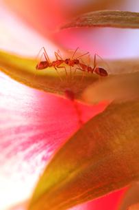 二匹のアリの写真素材 [FYI00168294]