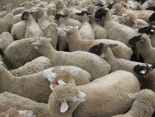 不眠症の妄想。ぎっちり羊の写真素材 [FYI00168309]