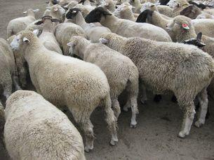 迷える子羊の写真素材 [FYI00168324]