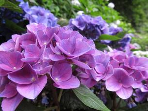 紫陽花の写真素材 [FYI00168336]