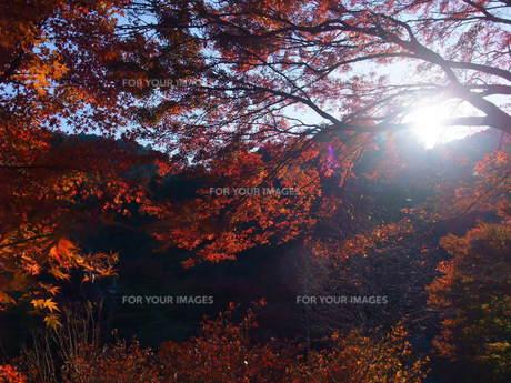 高尾山の紅葉の写真素材 [FYI00168453]