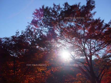 高尾山の紅葉の写真素材 [FYI00168454]