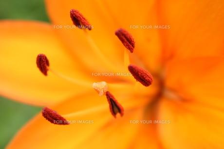 オレンジの百合の素材 [FYI00168496]