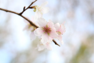 季節外れの桜の素材 [FYI00168505]