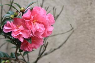 ピンク色の花の素材 [FYI00168523]