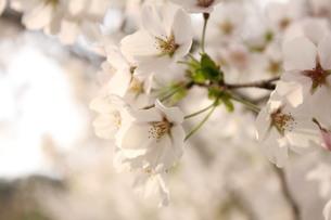 桜の素材 [FYI00168527]