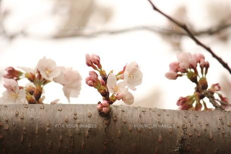 これから咲きますの素材 [FYI00168545]