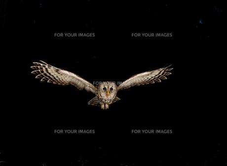 フクロウの写真素材 [FYI00168569]