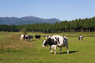 高原の牧場と牛の写真素材 [FYI00168698]
