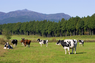 高原の牧場と牛の写真素材 [FYI00168701]