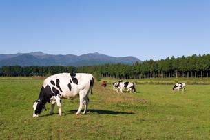 高原の牧場と牛の写真素材 [FYI00168713]