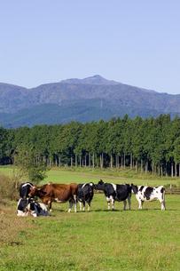 高原の牧場と牛の写真素材 [FYI00168725]