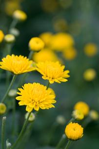 つま菊の写真素材 [FYI00168763]